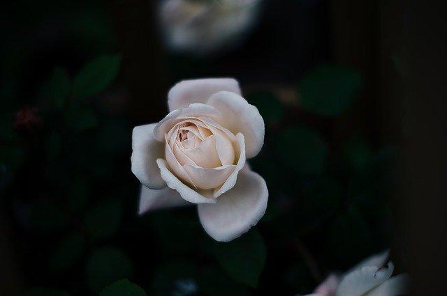 rosa branca para simpatia de atração de homens